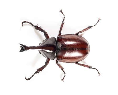 hexapoda: Rhinoceros beetle, Rhino beetle, Hercules beetle, Unicorn beetle, Horn beetle on white background.
