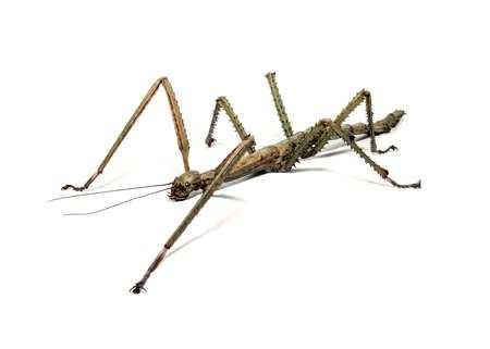 Spanish Walking Stick insect species Leptynia hispanica Stock Photo