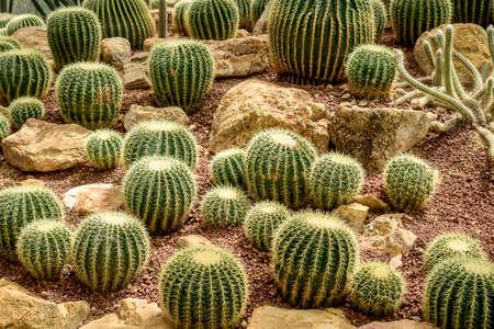 aloe vera flowers: Closeup of The Golden ball cactus. Echinocactus. Background of golden ball cactus Stock Photo