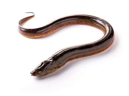 Lange paling op een witte achtergrond