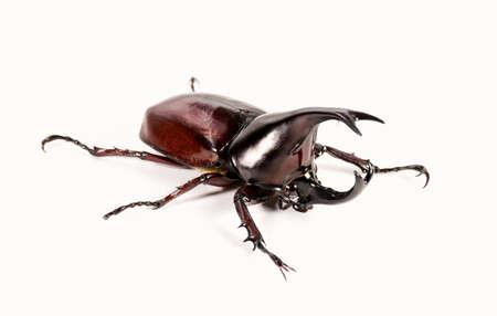 horn beetle: Rhinoceros beetle, Horn beetle isolated Stock Photo