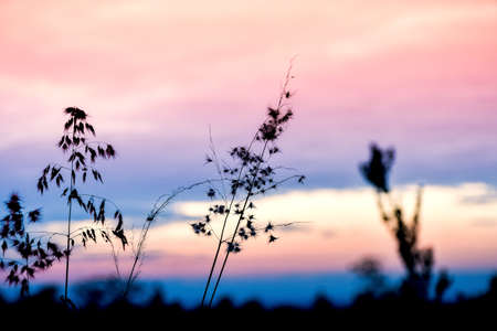 Wide silhouette of long grass plants on summer evening Reklamní fotografie