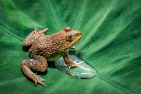 Big frog sitting on a green leaf lily