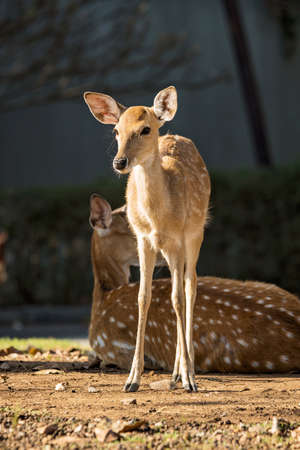 Mother and baby sika deer are resting deer when the weather is hot