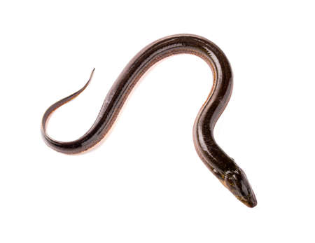 freshwater fish: Long eel on a white background