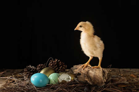 Easter eggs and baby chick in a nest on wooden background.