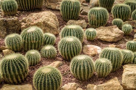 Closeup of The Golden ball cactus. Echinocactus. Background of golden ball cactus Stock Photo