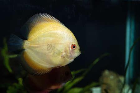 Discus (Symphysodon spp.), freshwater fish native to the Amazon Rive Stock Photo