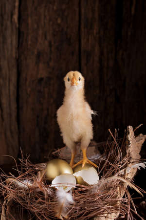 golden eggs and baby chick in a nest on wooden background. Stock Photo