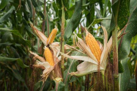 Closeup corn on the stalk in the corn field, Ripe corn cob growing in field closeup. Stock Photo