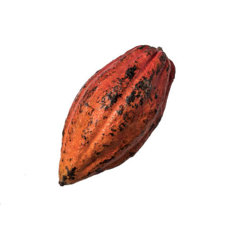 Cocoa Beans and Cocoa Fruits, Fresh cocoa pod Cocoa Beans and Cocoa Fruits on white background.