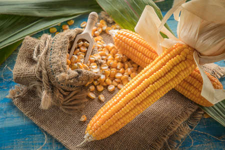 Corn on a blue wooden boards, Dried corn seeds in sack bag on wooden board,agriculture product Stock Photo