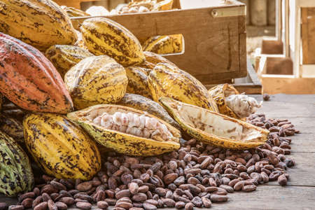 Cocoa Beans and Cocoa Fruits, Fresh cocoa pod cut exposing cocoa seeds, with a cocoa plant in background. Reklamní fotografie - 88788054