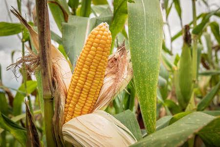 Nahaufnahmemais auf dem Stiel auf dem Maisgebiet Standard-Bild - 88788234