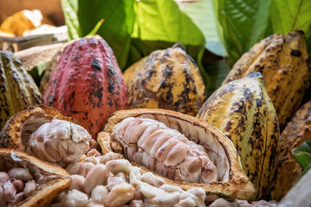Cocoa Beans and Cocoa Fruits, Fresh cocoa pod cut exposing cocoa seeds, with a cocoa plant in background.