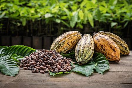 Cacaobonen en cacaovruchten, verse cacaovrucht gesneden om cacao zaden bloot te stellen, met een cacaoplant op de achtergrond.