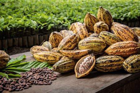 Cocoa Beans and Cocoa Fruits, Fresh cocoa pod cut exposing cocoa seeds, with a cocoa plant in background. Reklamní fotografie - 88790252