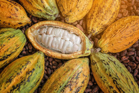 Cocoa Beans and Cocoa Fruits. Banque d'images