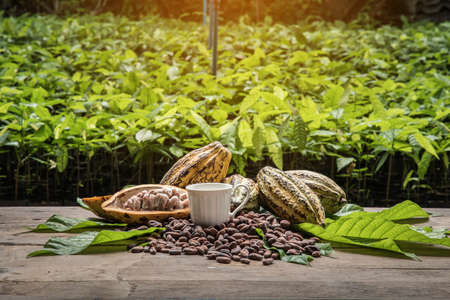 Cocoa Beans and Cocoa Fruits, Fresh cocoa pod cut exposing cocoa seeds, with a cocoa plant in background. Reklamní fotografie - 91543455