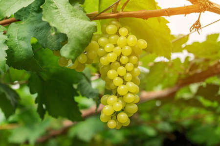 Large bunch of white wine grapes hang from a vine with green leaves. Nature background . Wine concept.