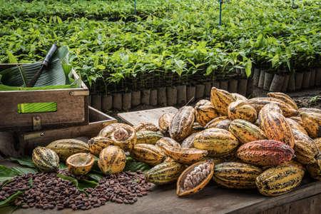 Fèves de cacao et fruits de cacao, gousse de cacao frais coupée exposant des graines de cacao, avec une plante de cacao en arrière-plan. Banque d'images