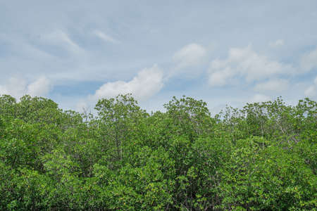 Mangrove forest in Phetburi Thailand, mangrove tree on river