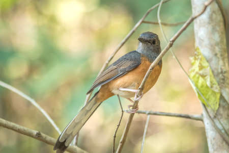 White rumped Shama from thailand, Birds and animals in wildlife. Greater titmouse bird sitting on a branch at the beginning of the spring.