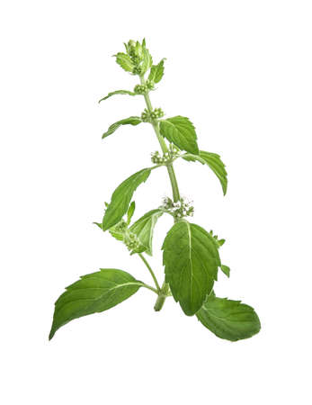 Mentha canadensis (Japanese mint, Corn mint, Field mint) flowers and leaves on a white background