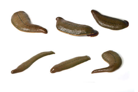 Leech set isolated on white background.