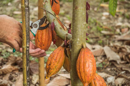 The cocoa tree with fruits. Yellow and green Cocoa pods grow on the tree, cacao plantation in village Nan Thailand. Archivio Fotografico