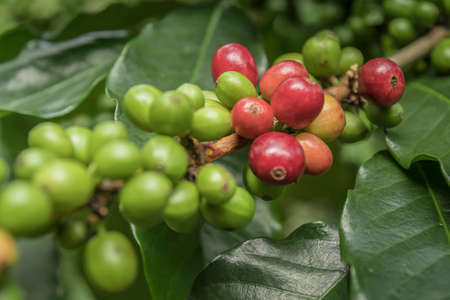 Coffee beans ripening on tree in North of thailand. fresh coffee cherry.