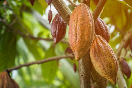 The cocoa tree with fruits. Yellow and green Cocoa pods grow on the tree, cacao plantation in village Nan Thailand. Stock Photo