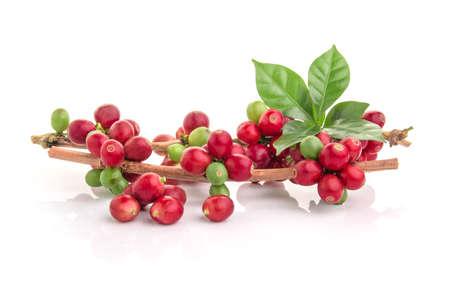 Rote Kaffeebohnen auf einem Zweig des Kaffeebaums, reife und unreife Beeren isoliert auf weißem Hintergrund Standard-Bild