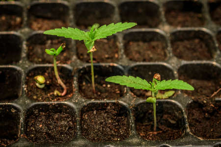 marijuana growing from seed,Young plant shot.