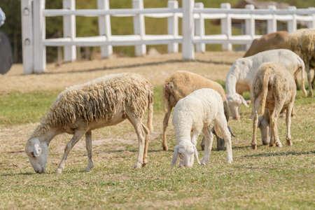 Livestock farm, flock of sheep in Thailand.