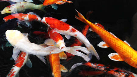 Colourful charming Koi Carp Fishes moving in pond with shadow and light reflection, Carp fishes swims under water surface Stock Photo