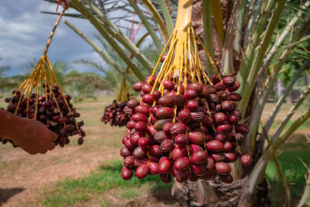Fresh date palms that have an important place in advanced desert agriculture. Concept of harvesting,  Date Palm. Raw Date Palm(Phoenix dactylifera) fruits growing on a tree. Stock fotó