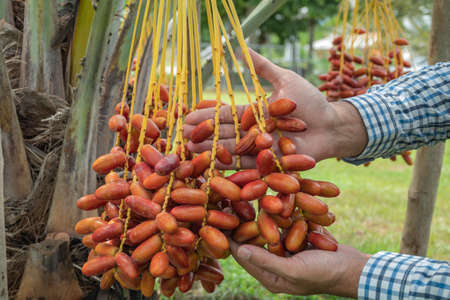 Fresh date palms that have an important place in advanced desert agriculture. Concept of harvesting,  Date Palm. Raw Date Palm(Phoenix dactylifera) fruits growing on a tree. Фото со стока