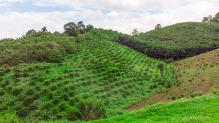 Robusta coffee farm and plantation on the north mountain of Thailand.