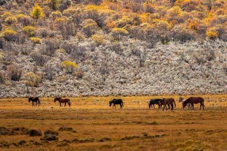 The last Shangri la, Daocheng-yading, Beautiful Scenic of Yading Nature Reserve, Daocheng , Sichuan, China. 版權商用圖片