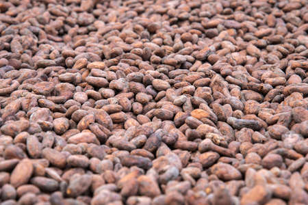 Cocoa seed sprouting background, Cocoa concept with raw, preparation to make chocolate. Drying cocoa seed. Imagens