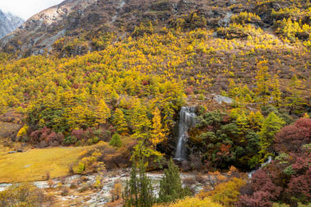 Beautiful waterfall from the melting of snow mountains in autumn yellow pine forest, Waterfall with autunm leaves in Yading Nature Reserve, Sichuan, China