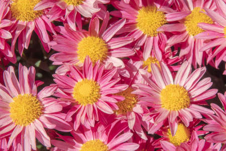 Beautiful flowers as background, Chrysanthemum or daisies flower background.