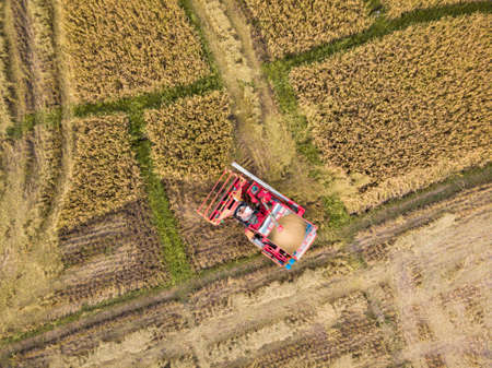 Rice farm on harvesting season by farmer with combine harvesters. And tractor on Rice field plantation pattern. photo by drone from bird eye view in countryside.