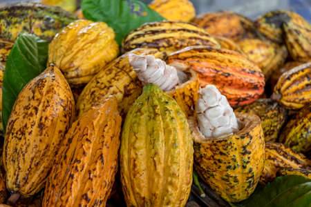 Cacao pods cocoa pods organic chocolate farm Thailand, Cacao Thailand pods, Fresh cocoa pod cut exposing cocoa seeds, with a cocoa plant in Thailand, Macro of Cocoa pods.