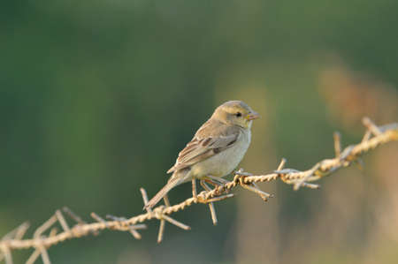 Plain-backed Sparrow  Female  in the morning light Thailand photo