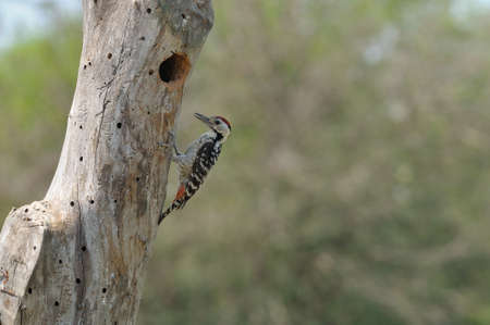 fulvous: Fulvous-breasted Woodpecker