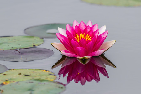 Black background with purple lotus leaf green  photo