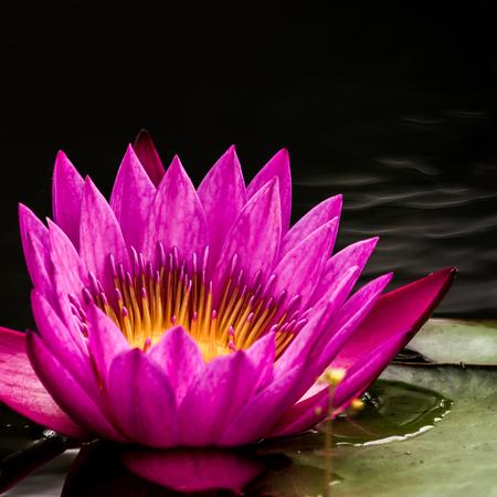 lotus effect: Black background with purple lotus leaf green