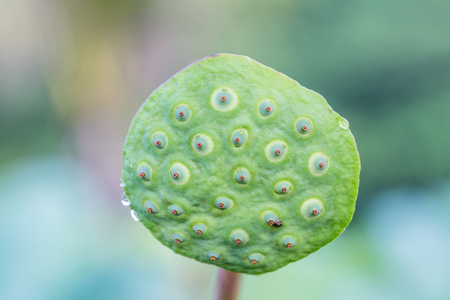 Lotus seeds, natural light photo